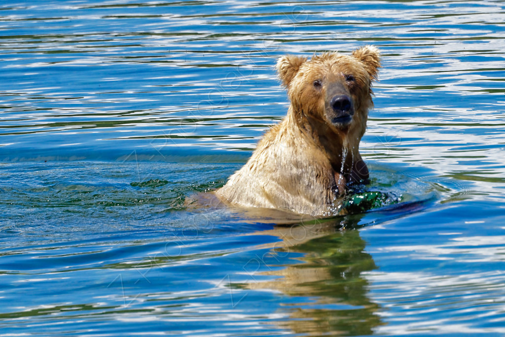 Grizzly Bear, Katmai N.P., Alaska